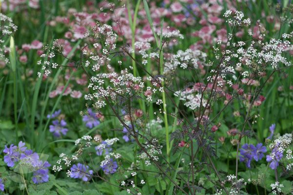 Buy cow parsley Anthriscus sylvestris 'Ravenswing': Delivery by Crocus.co.uk