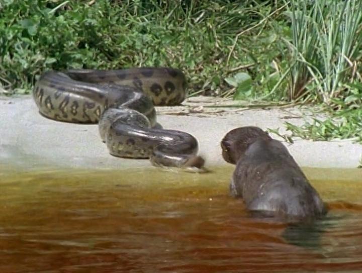 jaguar vs anaconda | this is not a jaguar; looks like an ...