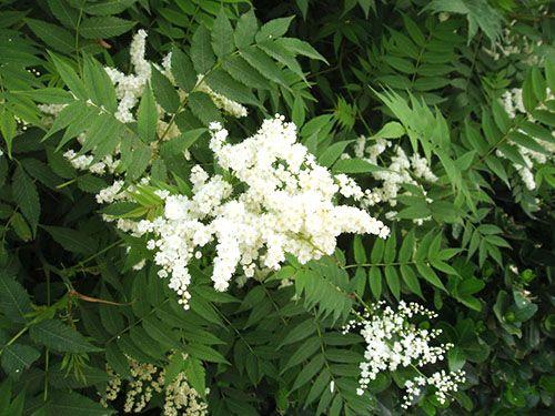 Рябинолистная спирея - за 4 года достигающим высоты 3 метров.    У крупного, живущего до 20 лет кустарника прямостоячие с буровато-серой корой ветки, образующие густую шаровидную крону. Листья действительно похожи на листву рябины, но более заострены. А молодая листва, появляющаяся одной из первых в саду, часто имеет пурпурную окраску. В июле обильно раскрываются собранные в пирамидальные метельчатые соцветия, до 20–25 см длиной, белые ароматные цветы.