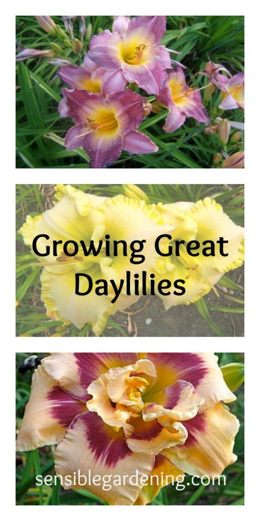 How to grow great daylilies with Sensible Gardening.