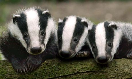 badgers, one of our native animals and sadly one that our government is considering culling