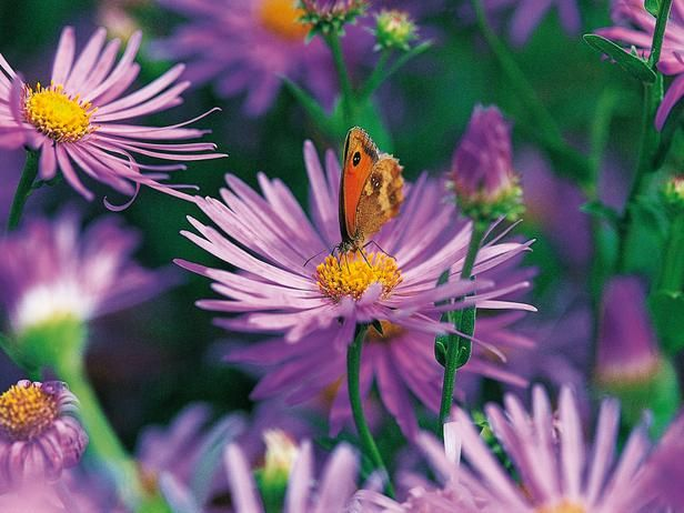 Plants that attract good bugs:  Aster Amellus10 Plants, Flowers Pl, Butterflies Gardens, Bugs, Hgtv Gardens, Ten Plants, Flowerspl, Flower Plants, Attraction