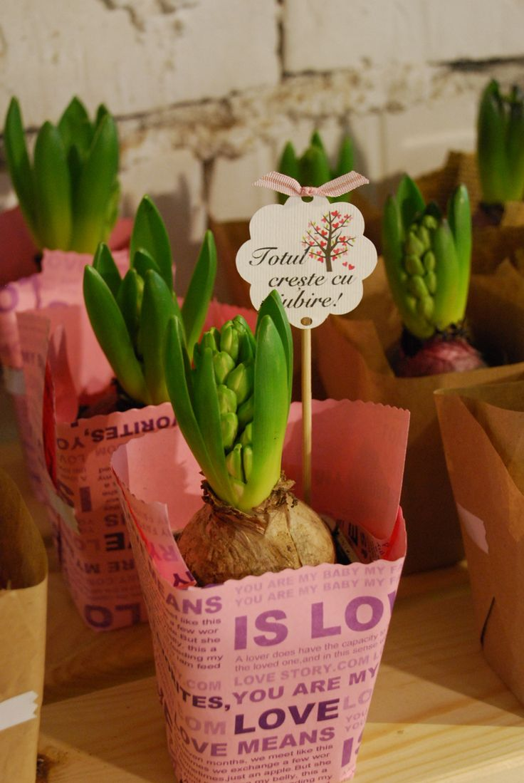 Plant favors, spring bulbs, pot wrapping, wedding favors, plants wedding, spring flower, beautiful pot, marriage Plante marturii nunta, bulbi primavara, seminte martturii, bulbi marturii