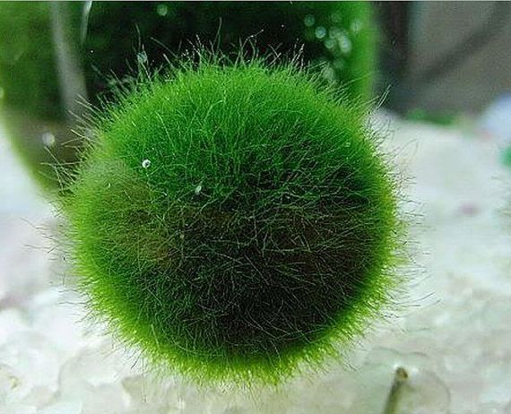 What is a Marimo moss ball? Marimo ball is a kind of fresh water algae grown in Hokkaido, Japan. It is a natural monument in lake Akan, full of