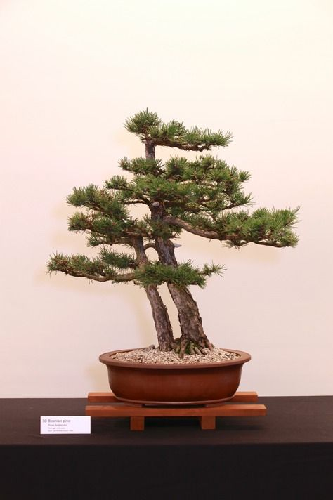 Jpb:bonsai Collection5 Bosnian Pine Bonsai