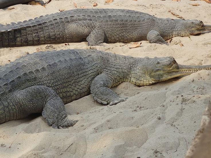 Crocodile Breeding Centre - in Jharkhand, India