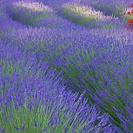 Lavender Munstead Seeds (Lavandula angustifolia) - Packet