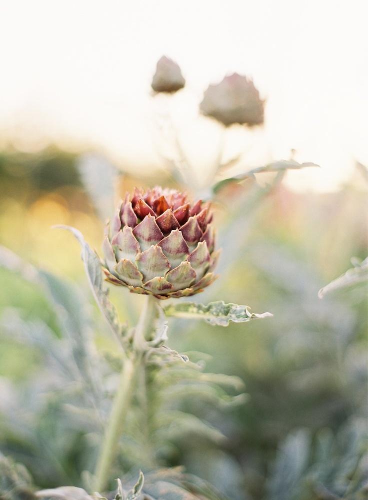 artichoke in bloom... photo by Jen Huang