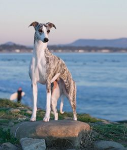 Ch Starline's Chanel. Whippet dog art portraits, photographs, information and…