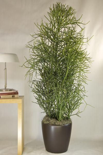 Indoor plants- Pencil Cactus.