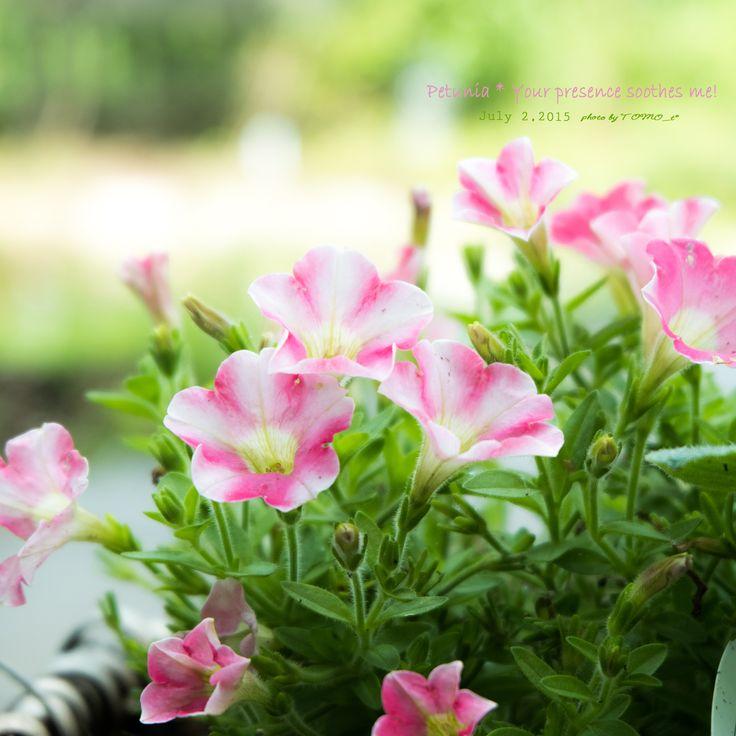 道のりを記憶に残して: ペチュニア、淡い紫とピンク&ホワイト/花・ガーデニング