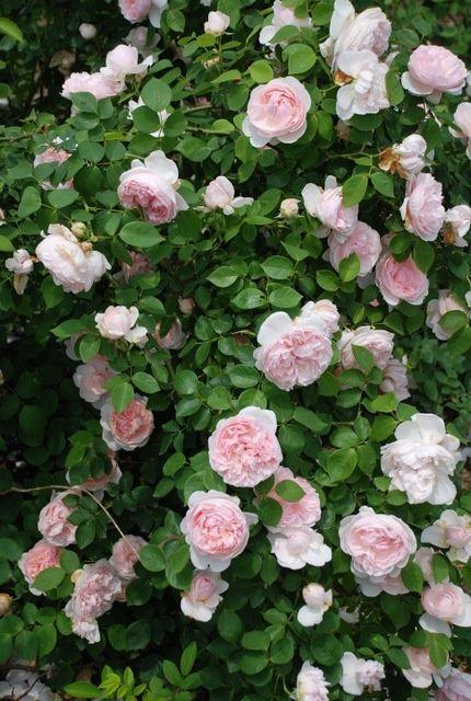 'St. Swithun' Climbing Rose