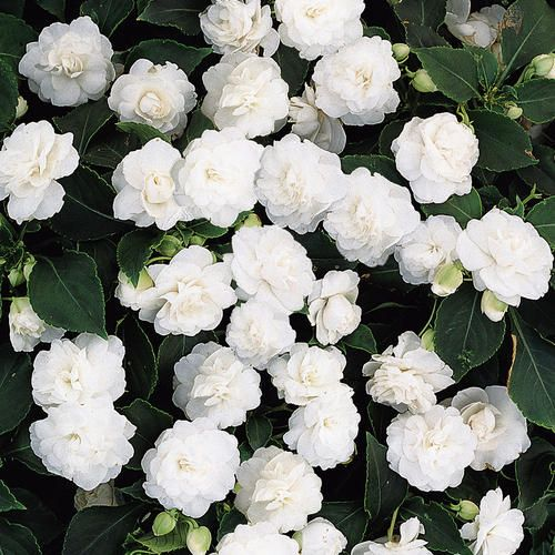 96 best white flower garden images on pinterest white gardens rockapulco white impatiens via proven winners mightylinksfo