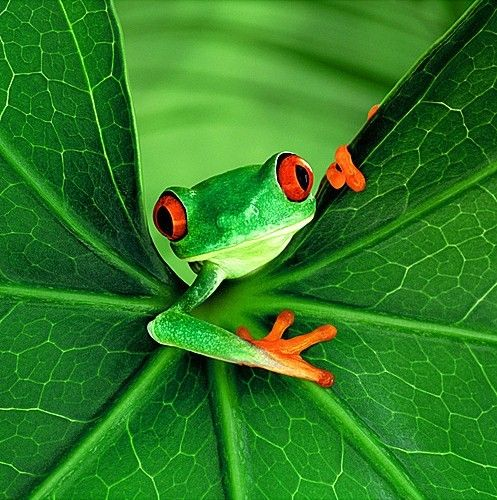 green exotic photos | Exotic green frog on leaf