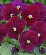 Sorbet™ Carmine Rose (Viola) - 1379C | Stokes Seeds