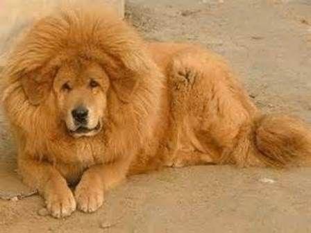 les 25 meilleures id es de la cat gorie mastiff du tibet rouge sur pinterest prix dogue du. Black Bedroom Furniture Sets. Home Design Ideas