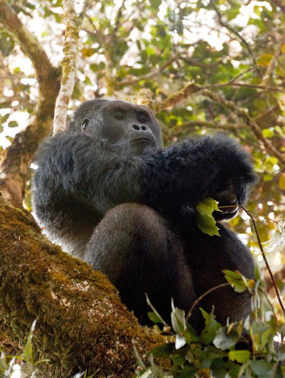Silverback Grauer's gorilla Why Hope Remains for Saving the World's Largest Gorillas