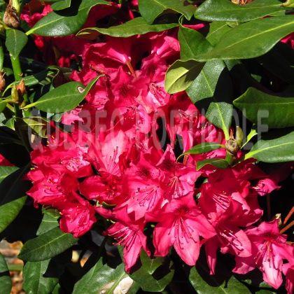 Les 25 Meilleures Idées De La Catégorie Rhododendron Nova Zembla