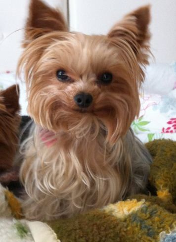 Pen pen! smile! Yorkie. Yorkshire Terrier