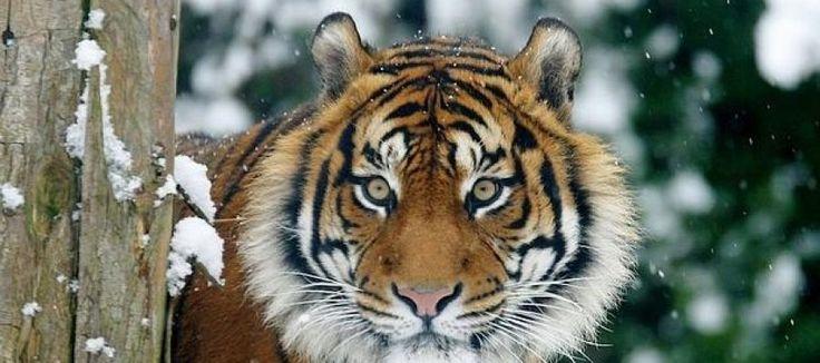 La población silvestre de tigre aumenta por primera vez desde 1990 - http://verdenoticias.org/index.php/blog-noticias-diversidad-biologica/238-la-poblacion-silvestre-de-tigre-aumenta-por-primera-vez-desde-1990