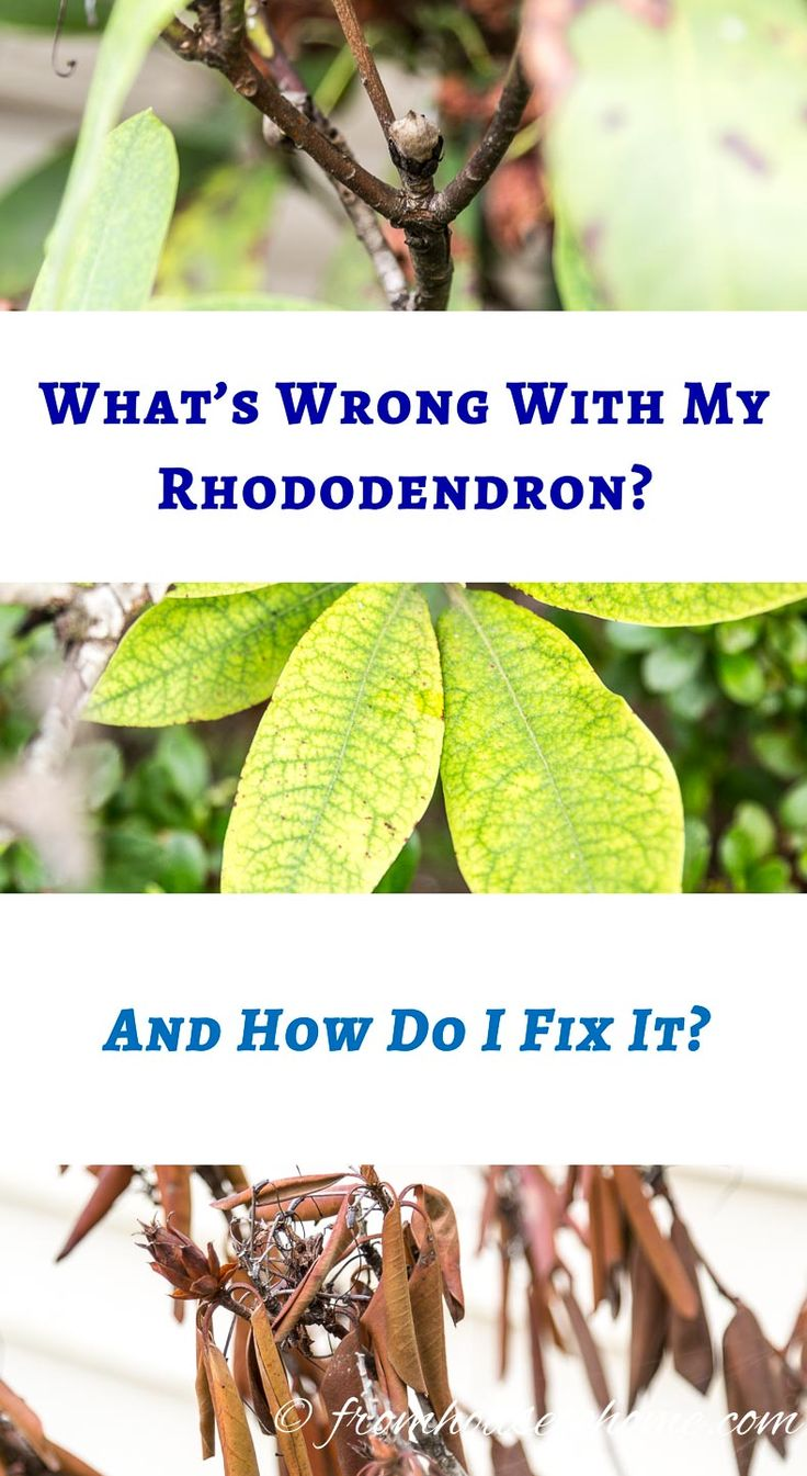 Rhododendron Problems: What's Wrong With My Rhododendron?   Are your Rhododendrons not looking as healthy as they should? This list of Rhododendron problems and diseases will help you figure out what you need to do to fix them.