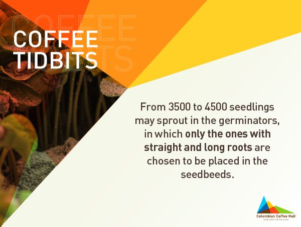 Learn more about seedlings at www.colombiancoffeehub.com