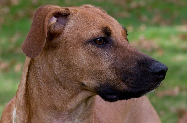If you are looking for a rugged, strongly muscled working dog then look no further than the Black Mouth Cur. These dogs can be trained for a variety of uses