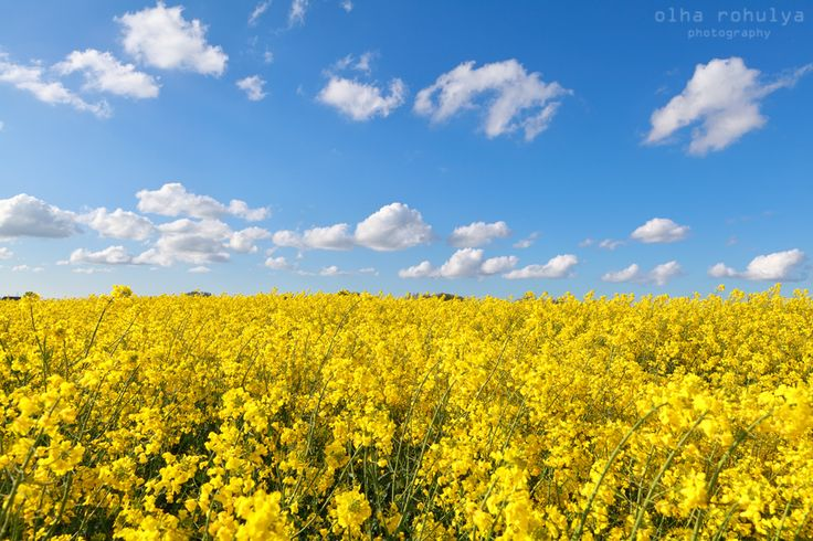 yellow rape flower field and blue sky - yellow rape flower field and blue sky, Groningen, Netherlands