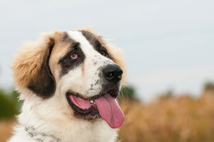 Bukovina Sheepdog #36 Big Index: 2 Max Average Weight: 90 pounds Max Average Height: 31 inches  Bukovina sheepdogs are great watchdogs and show protective behavior in times of need. The breed is also a good fit for families with children.