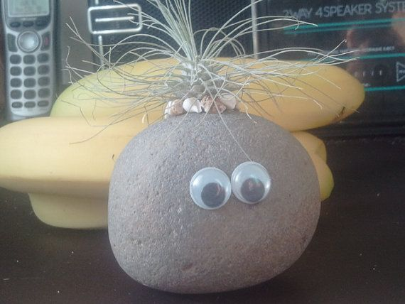 Living Pet Rock // Airplant // Fuchsii v Gracillis by EDsAirplants, $6.00