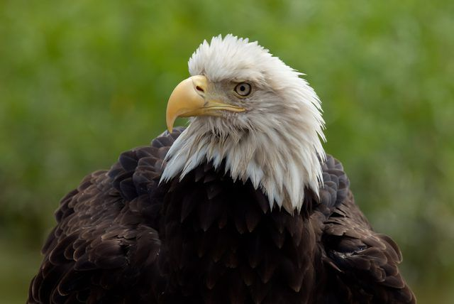Adult Bald Eagle () The width from the top of the beak to the eagle's chin is the depth of the beak. Female bald eagles generally have deeper beaks than male eagles, according to Journey North.