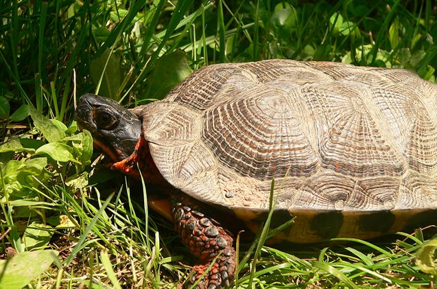 The North American Wood Turtle is a good choice for pet owners who have never kept a turtle before.