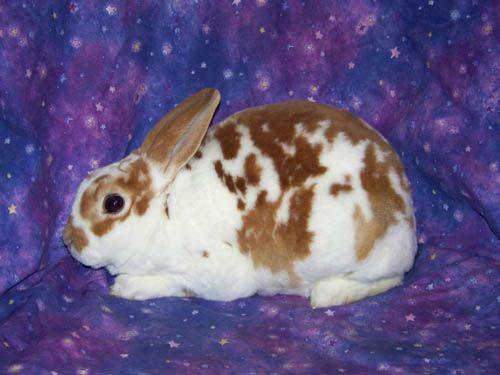 Pin by Rachel Warren on Rabbit Breeds 101 | Pinterest