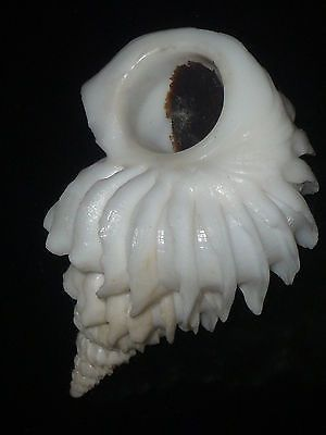 Sthenorytis Pernobilis w O 41 2mm Highly Important Museum Quality RARE Beauty | eBay