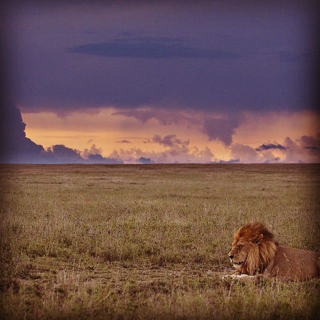 A #Serengeti #lion is one of the most #beautiful sights and then the #clouds and #sunset behind just make this #beast even more #majestic. Book a trip to our #SerengetiWildernessCamp in the @serengeti_national_park by going onto our website -->www.wildfrontiers.com<-- #tanzania #pantheraleo #simba  #view #predator