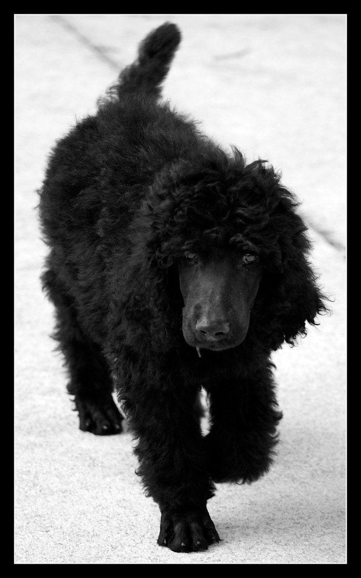 Standard Poodle !
