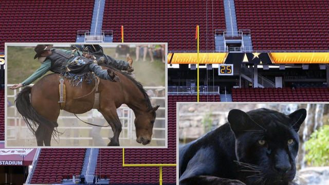 Broncos vs. Panthers: Which would win nature's Super Bowl? - Videos - CBS News