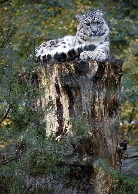 Snow leopard (by 350Wedge)