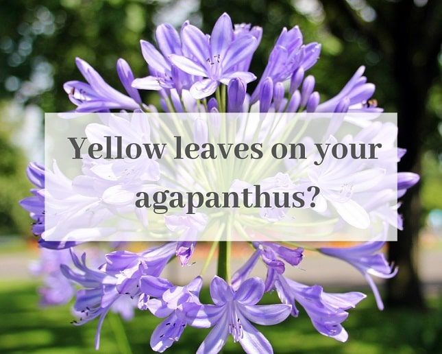 4 Causes Of Agapanthus Leaves Turning Yellow