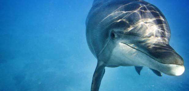 Rencontre avec les dauphins après une plongée sur l'épave Augustin Fresnel à Bouillante en Guadeloupe...#LaRandeau #Guadeloupe #Bouillante http://plongee-en-guadeloupe.blogspot.fr/2014/11/plongee-avec-les-dauphins.html