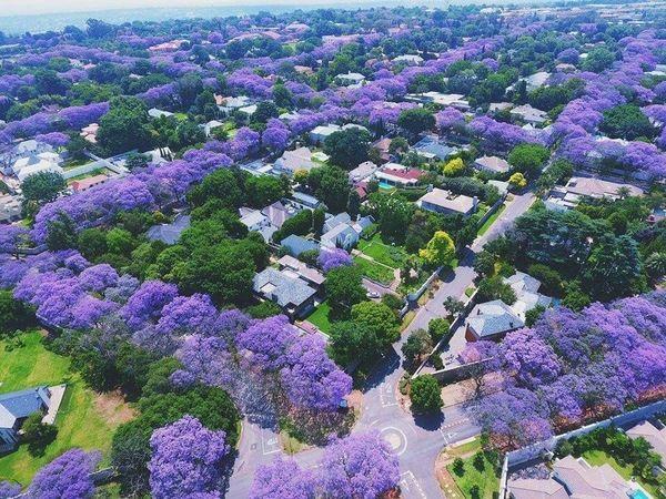 А в Австралии сезон цветения жакаранды .