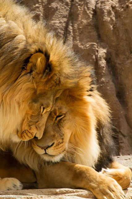 ♂ Lion couple animal wild life photography
