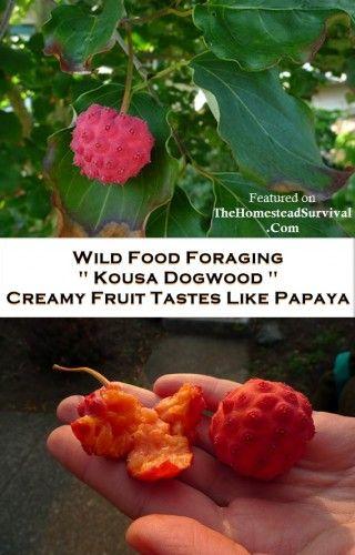 Kousa Dogwood: Urban Wild Food Foraging | The Homestead Survival