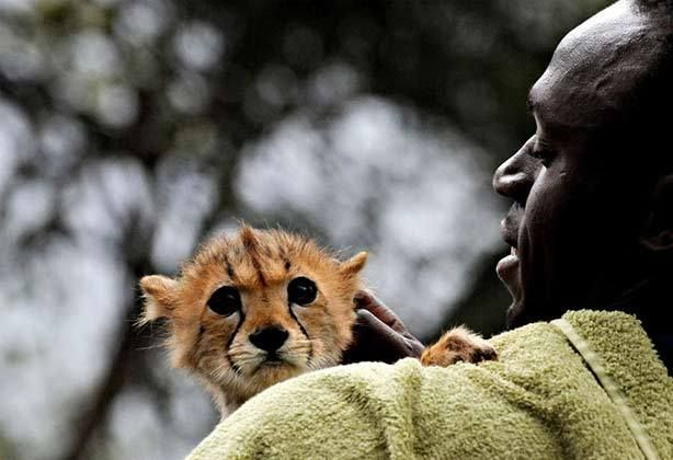 A baby cheetah being held in human arms.