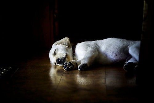 Yellow Lab Labrador Retriever #Puppy #dogs