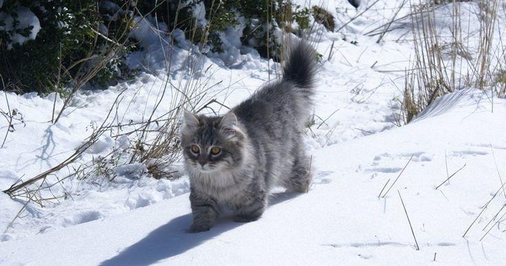 El bosque de Siberia o gato siberiano - http://www.notigatos.es/bosque-siberia-gato-siberiano/ #gatos