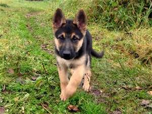 <b>german</b> <b>shepherd</b> <b>puppy</b> hd wallpapers best desktop background images ...