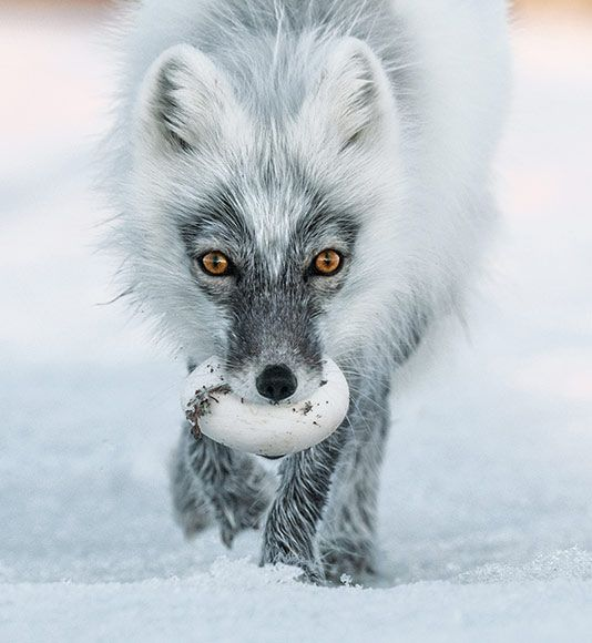 Artic Fox with a snow goose egg - Funny Wildlife, nationalgeographicdaily: Photo: Sergey Gorshkov ...