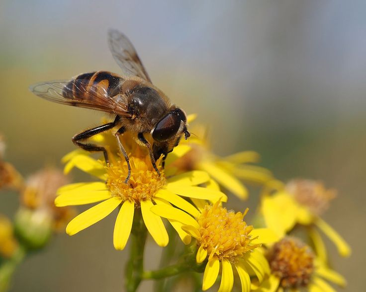 From Wikiwand: Drone fly on ragwort