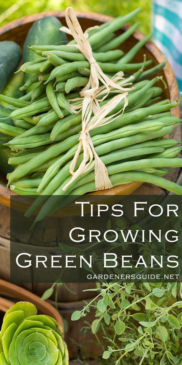 Tips For Growing Green Beans Gardening Greenbeans Tips 400 x 300